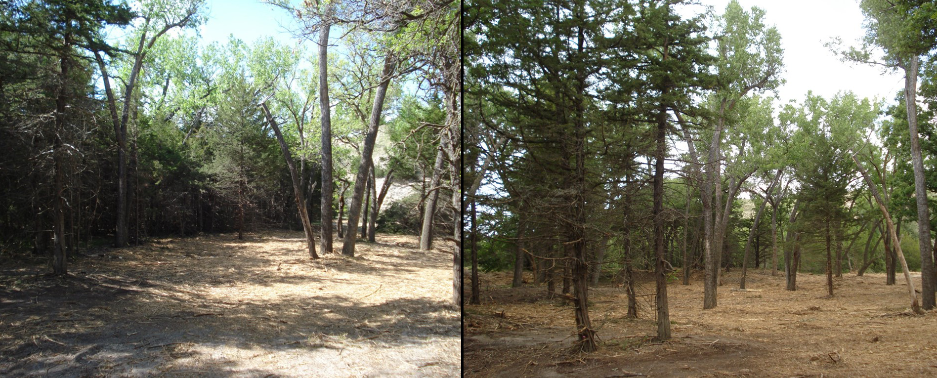 This forest stand was thinned to create a less fire prone landscape.