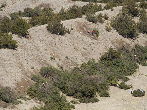 workers clear cedar trees from steep slope