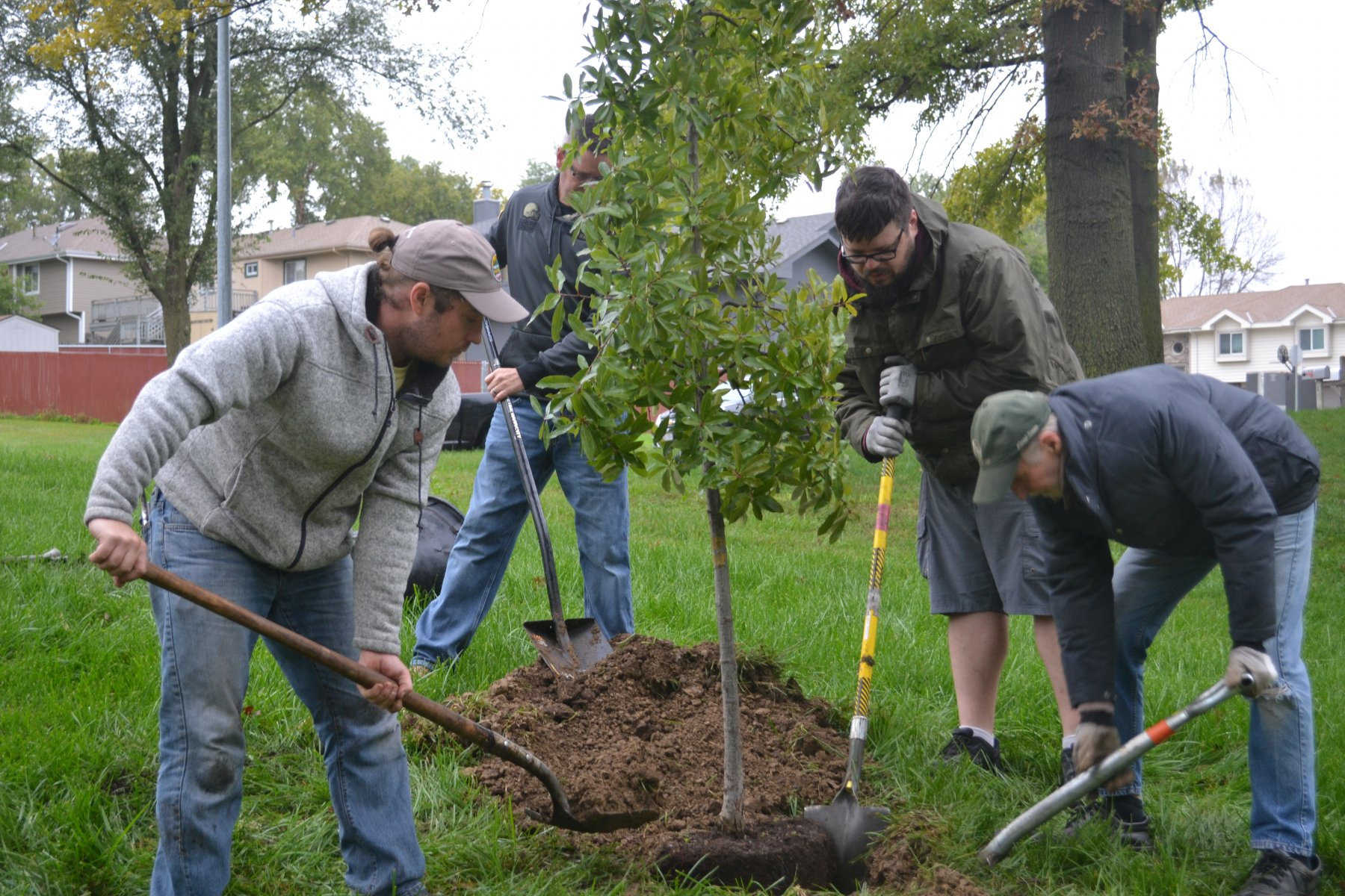 Planting an oak tree in Bellevue's Two Springs Park
