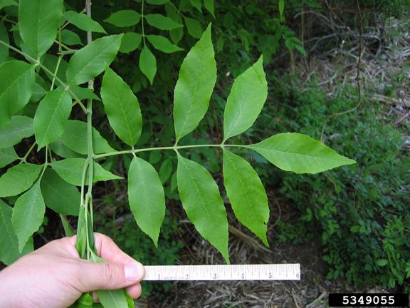 identifying ash trees