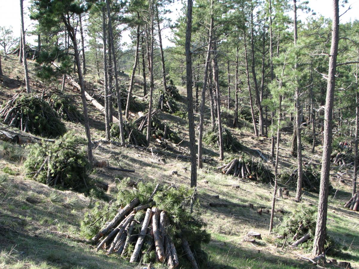 Forest fuels are piled underneath forest canopy.