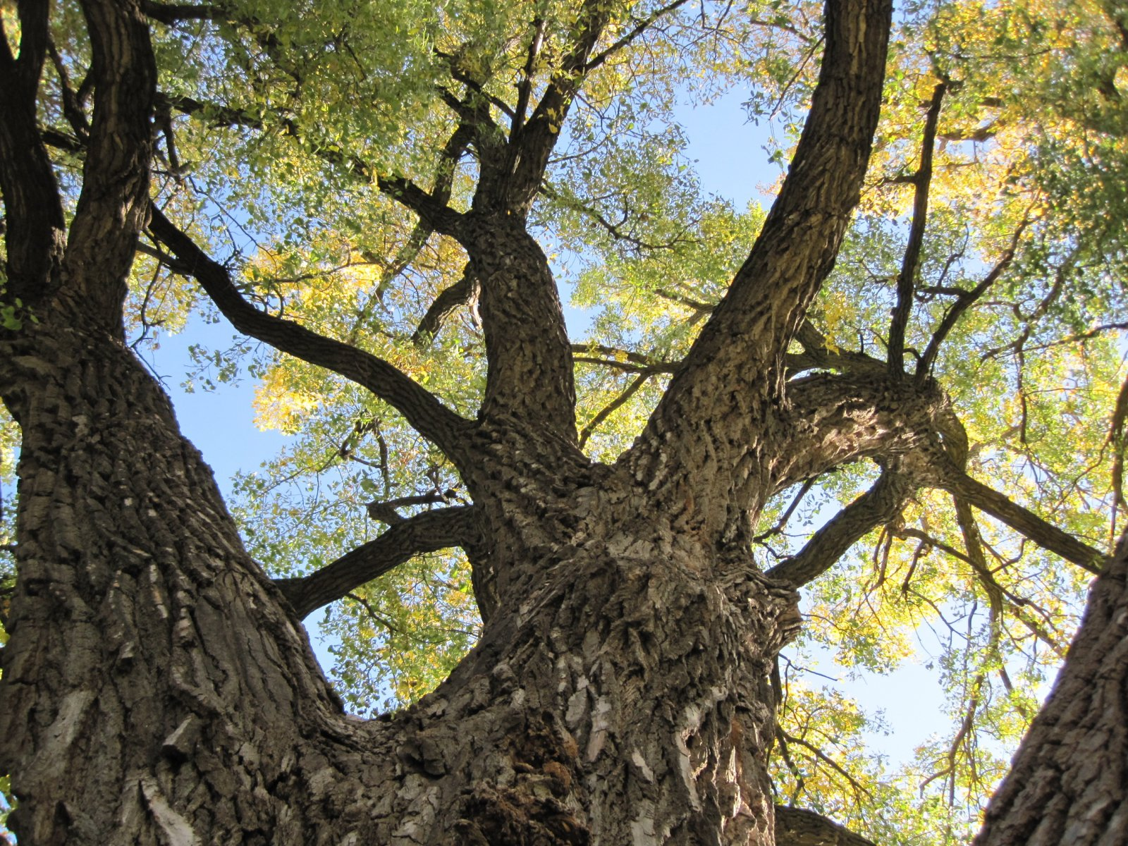 looking up into the tree canopy of a cottonwood