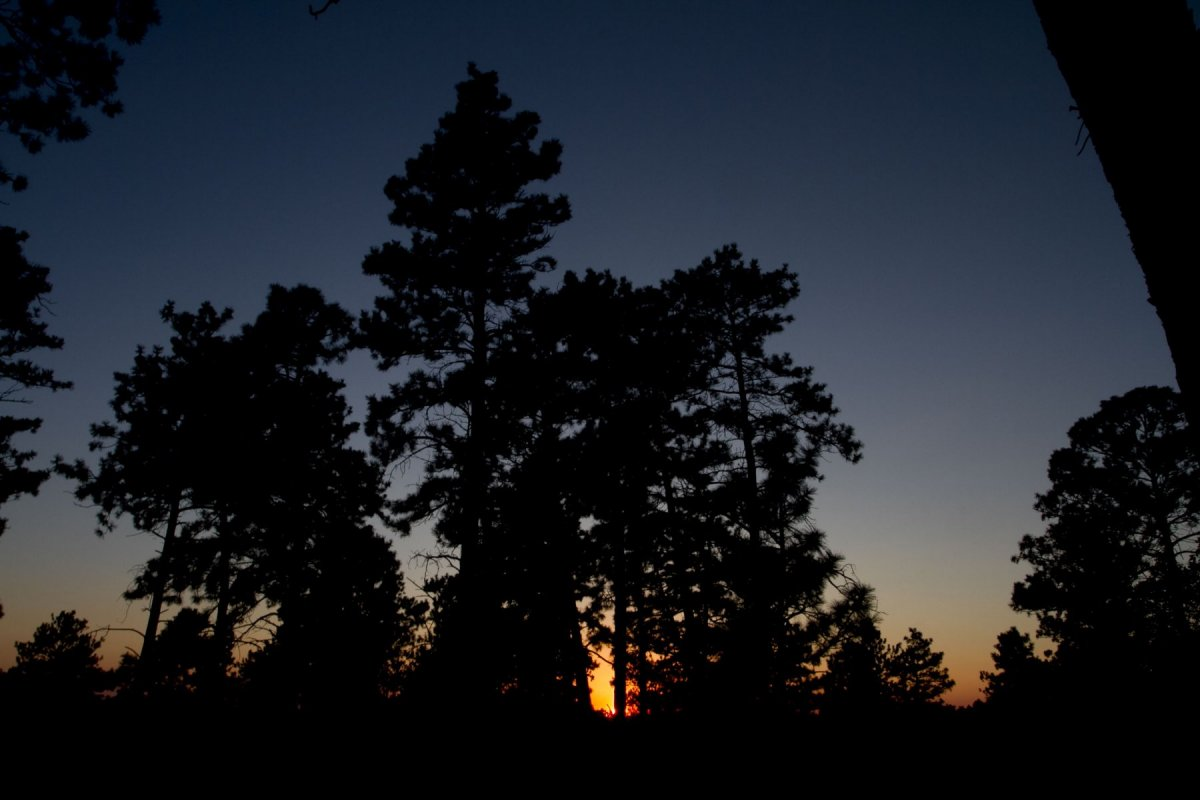 pine trees at sunset.