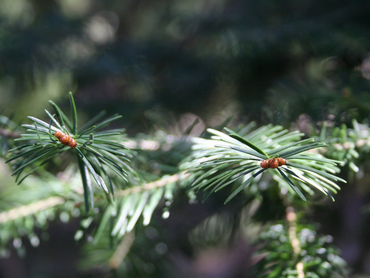 Photo of Balsam Fir