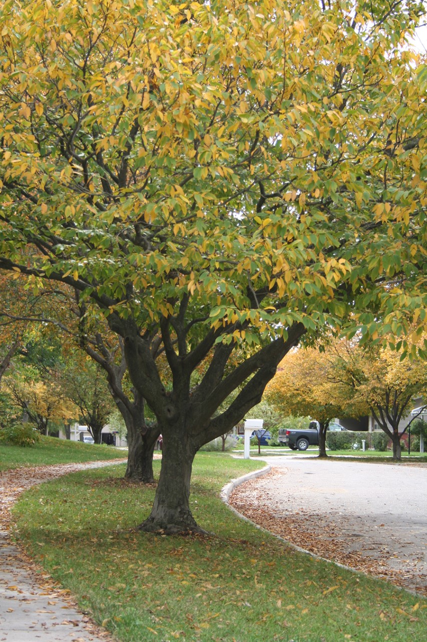 American hornbeam or musclewood (Carpinus caroliniana) is a 20-25' tree with muscle-like bark that makes a good street tree.
