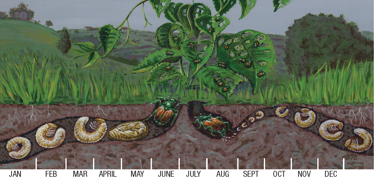 Artist rendering of Japanese beetle's lifecycle