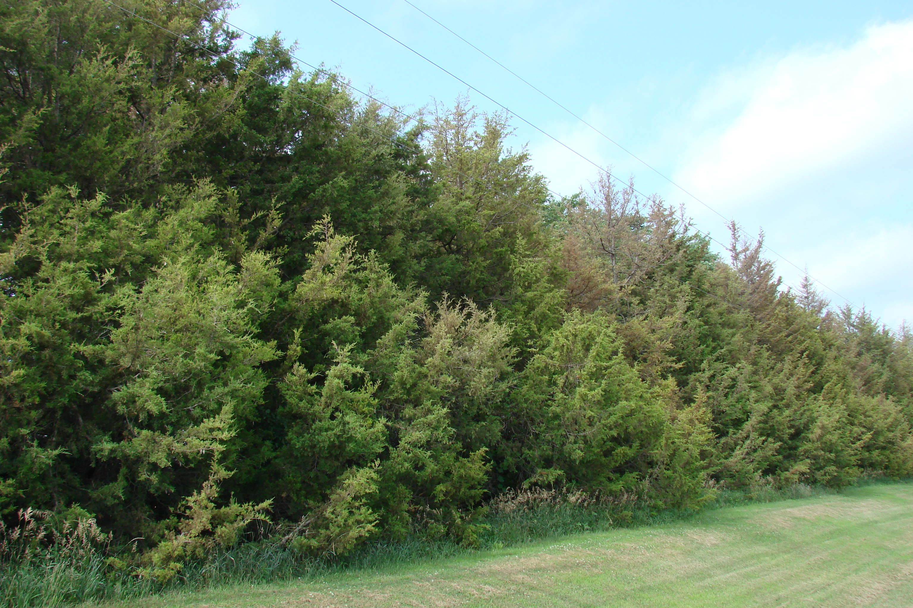 Windbreak that is primarily cedar