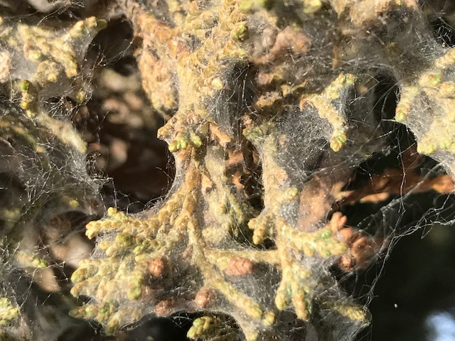 A closeup view of the spider mite's web.