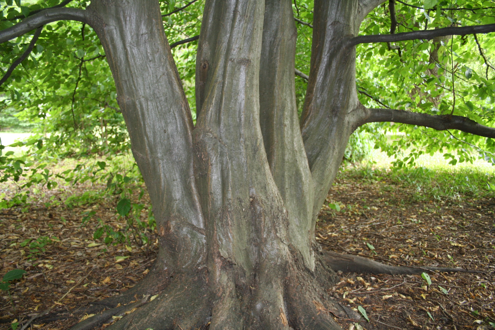 "A closeup of the hornbeam's ""muscular"" trunk."