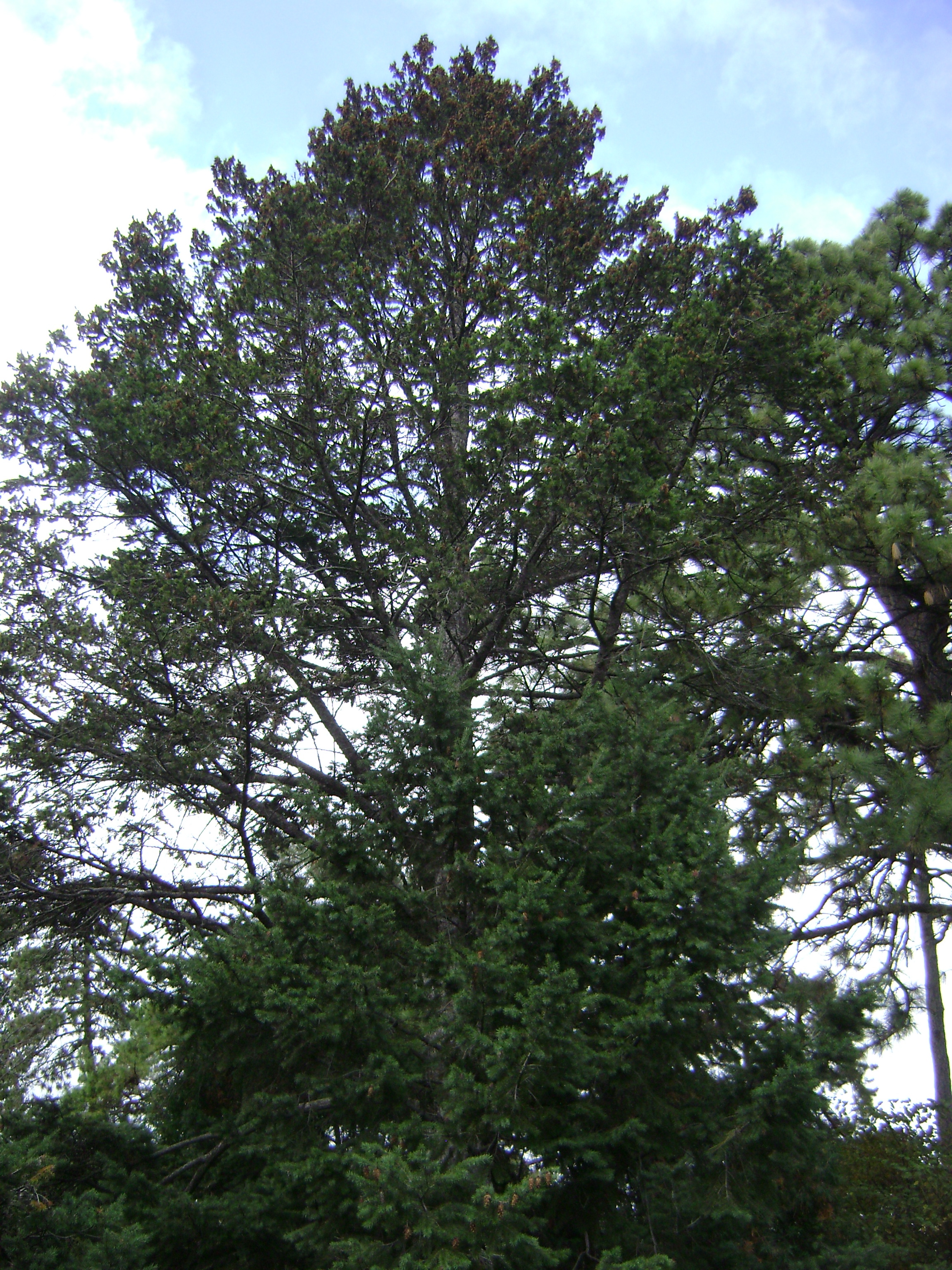 Photograph of a douglas fir tree.