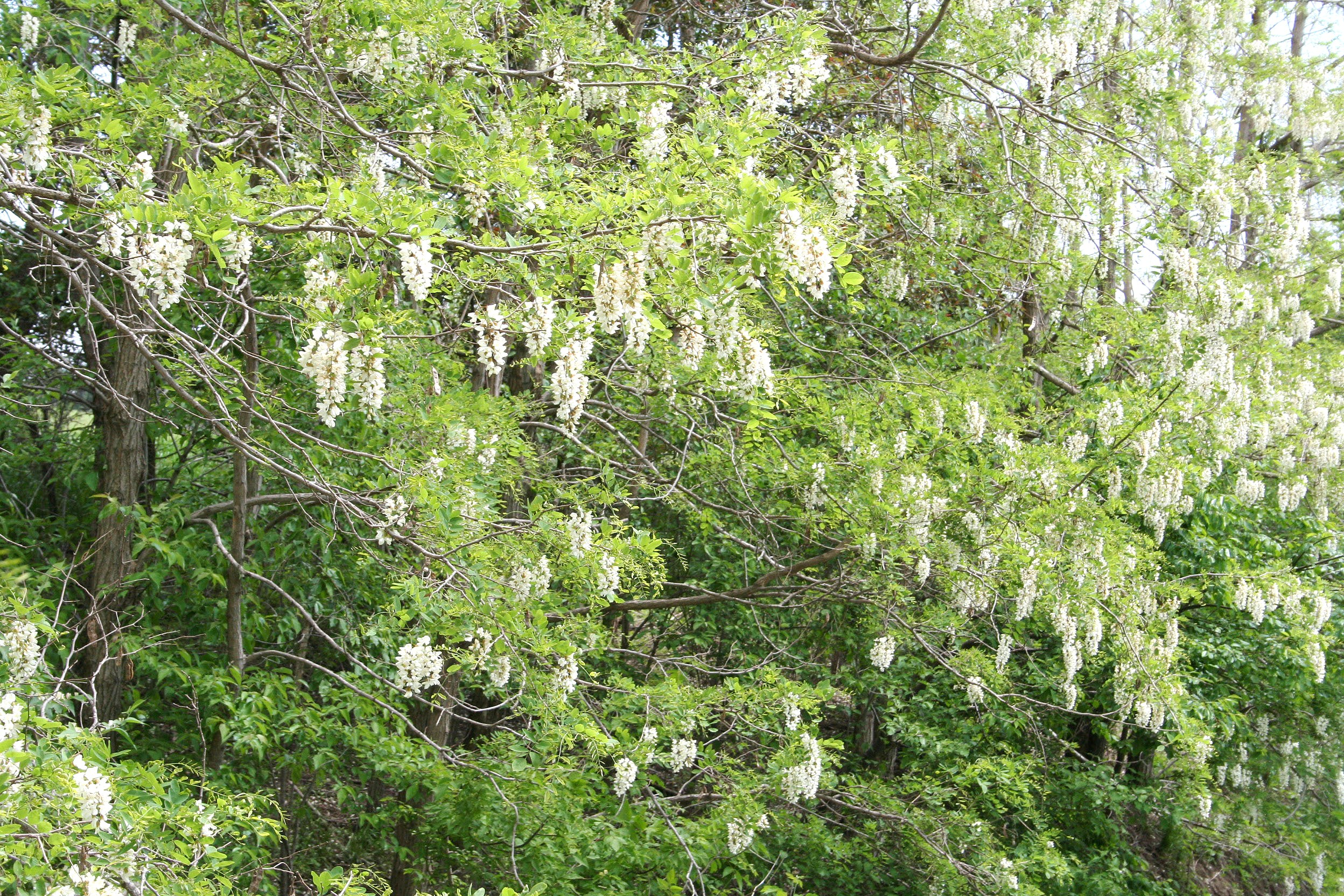 Black Locust flowering.