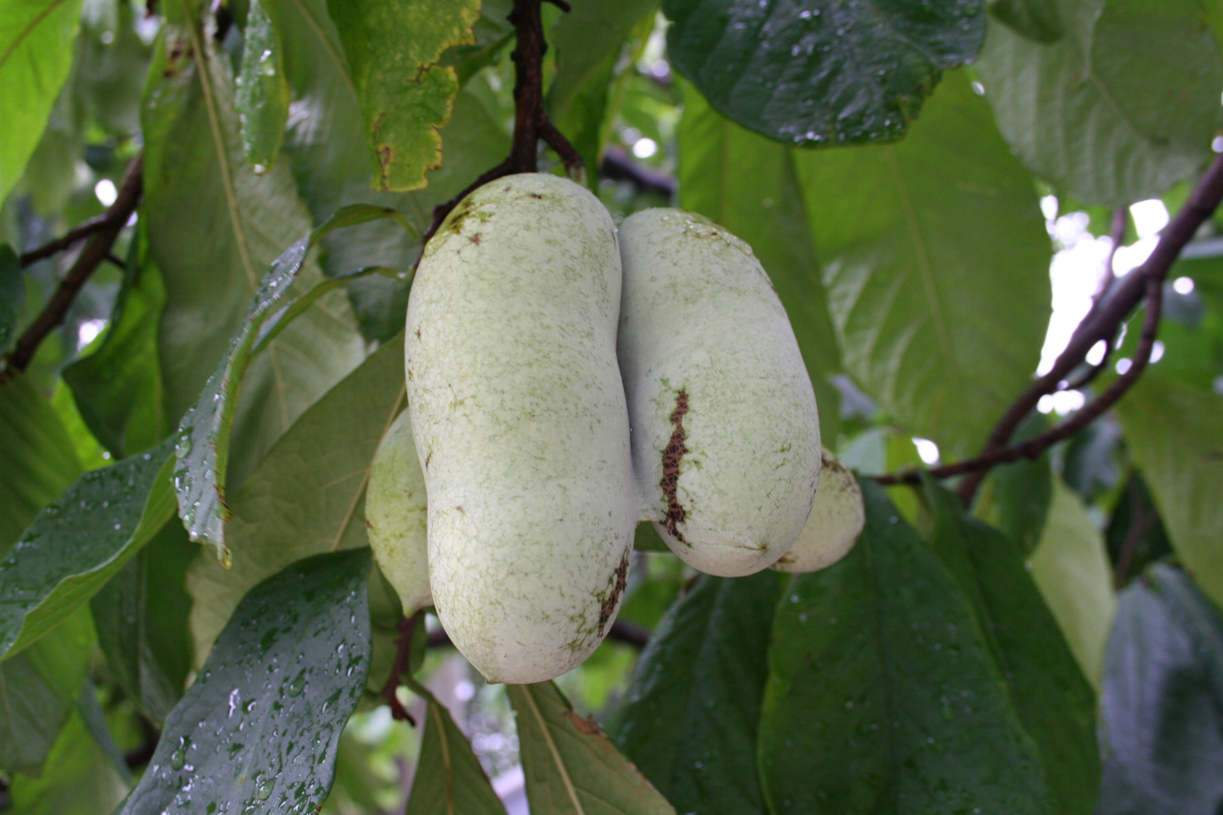closeup of pawpaw fruit