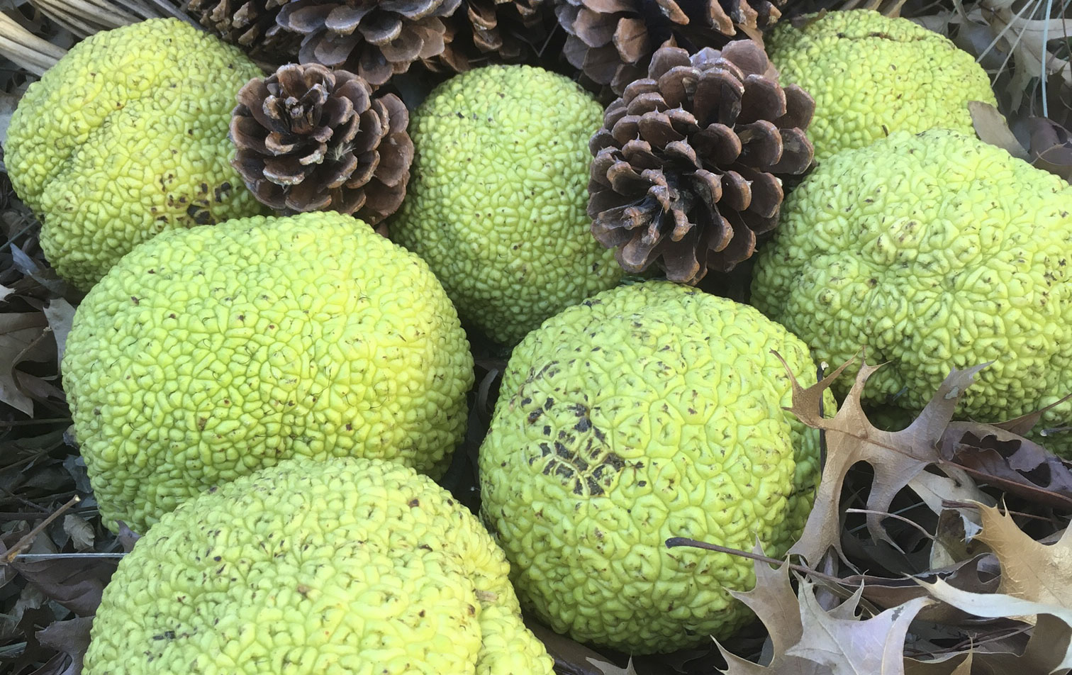 Osage Orange fruit is roughly the size of a softball.