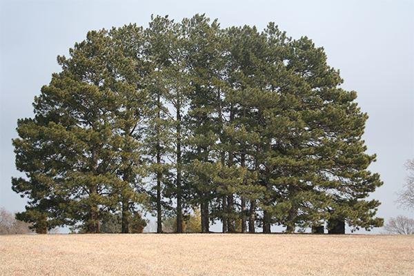 Ponderosa pine is a rapidly growing tree.