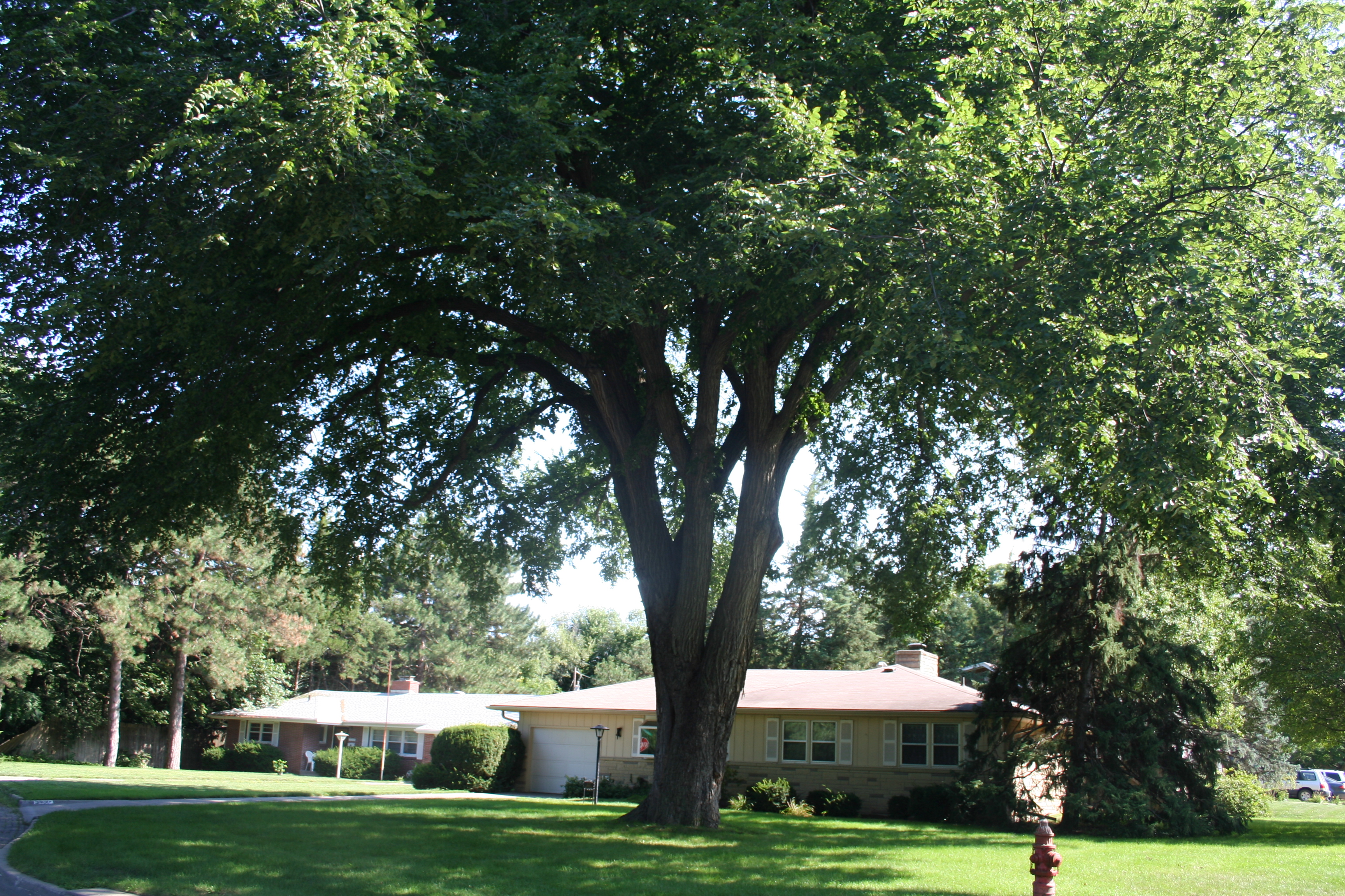 American elm tree shades house.