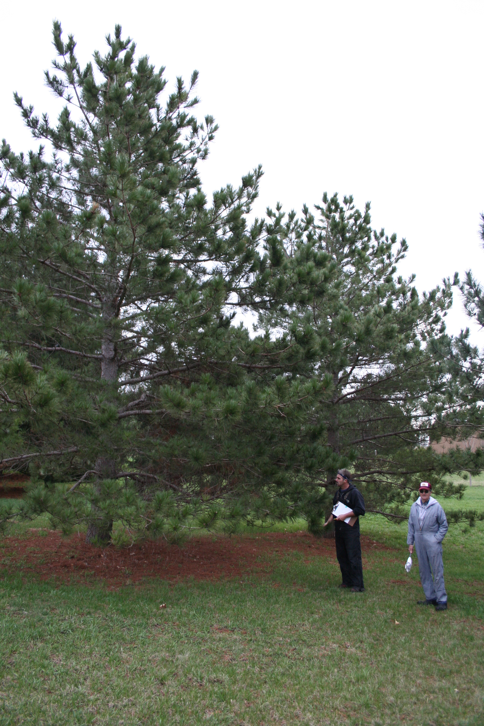 People standing next to a red pine.