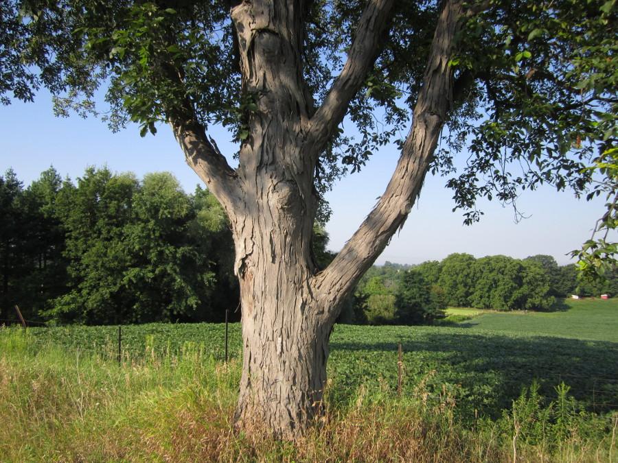 Hickory Shagbark Nebraska Forest Service