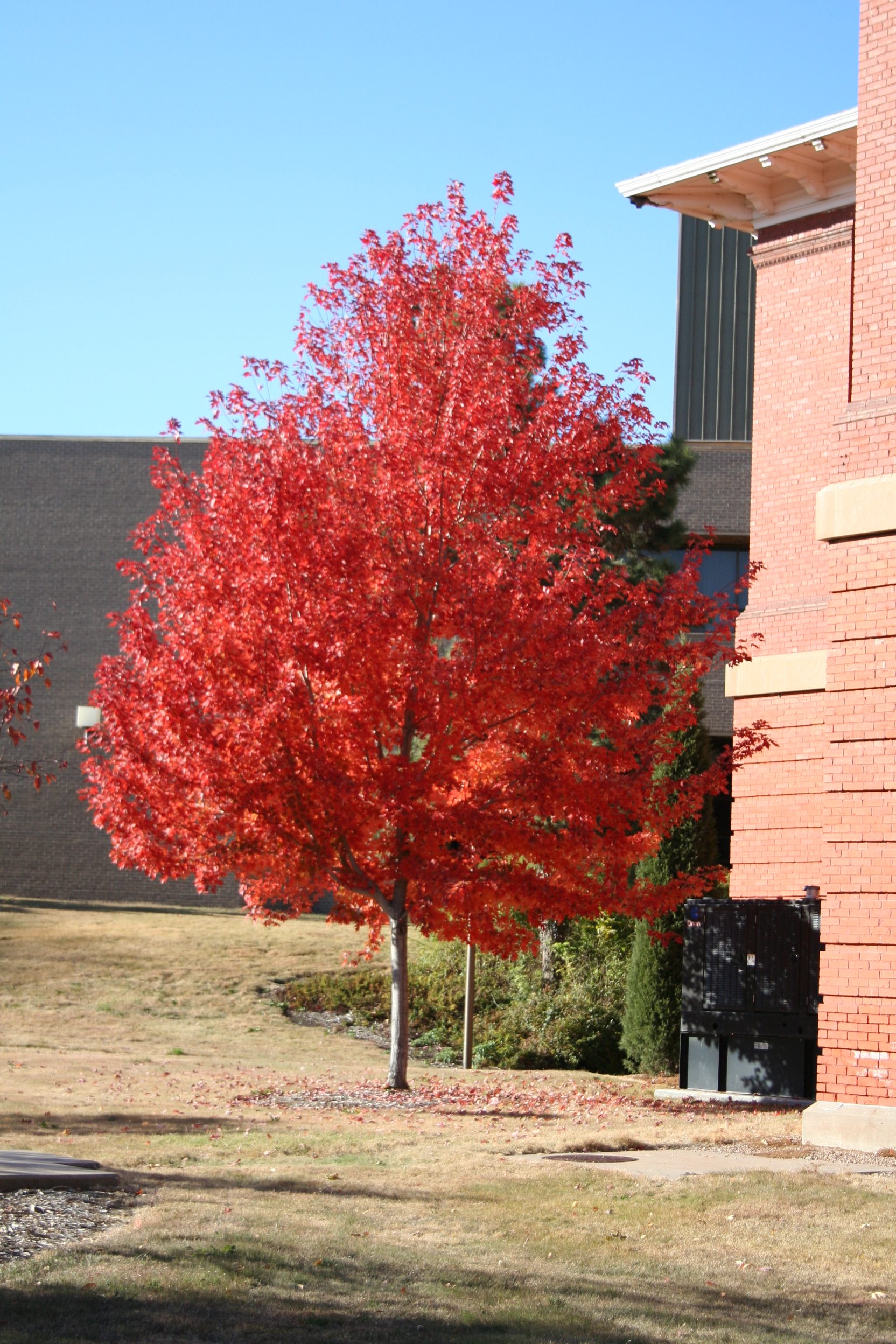 Red Maple has brilliant red leaves in the fall.