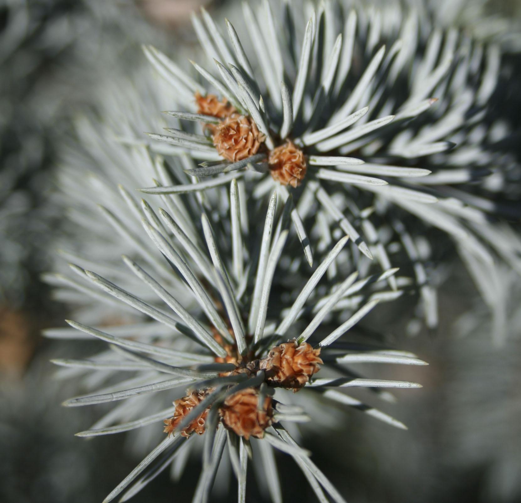 Close up of colorado blue spruce needles.
