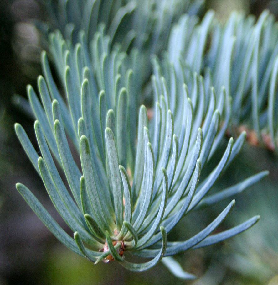 Concolor (white) Fir needles