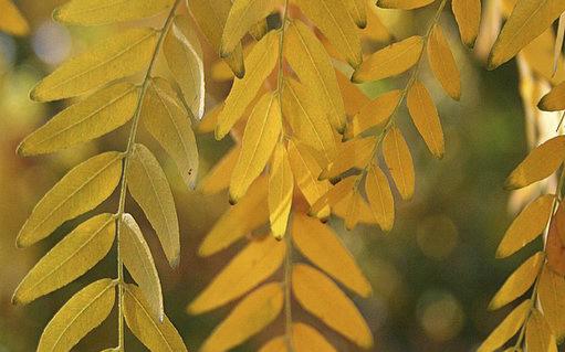 Closeup of honeylocust leaves.
