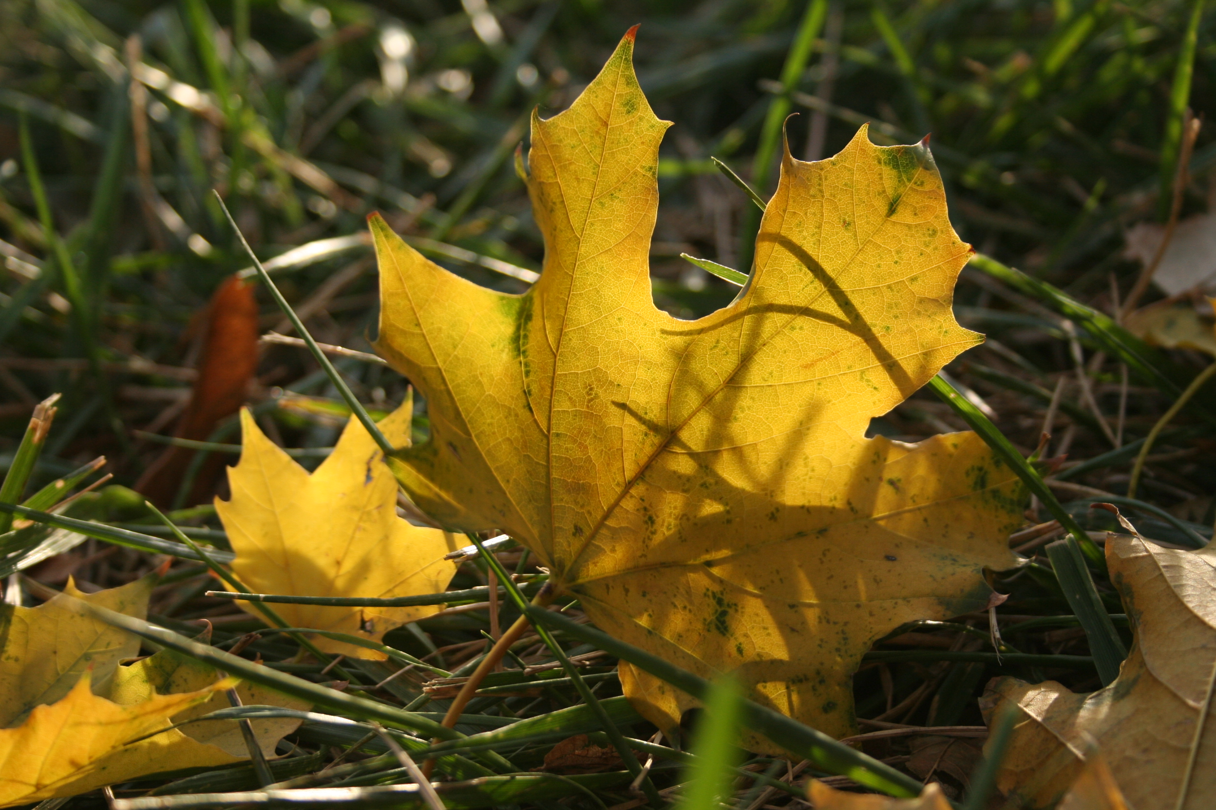 Norway Maple leaf in grass