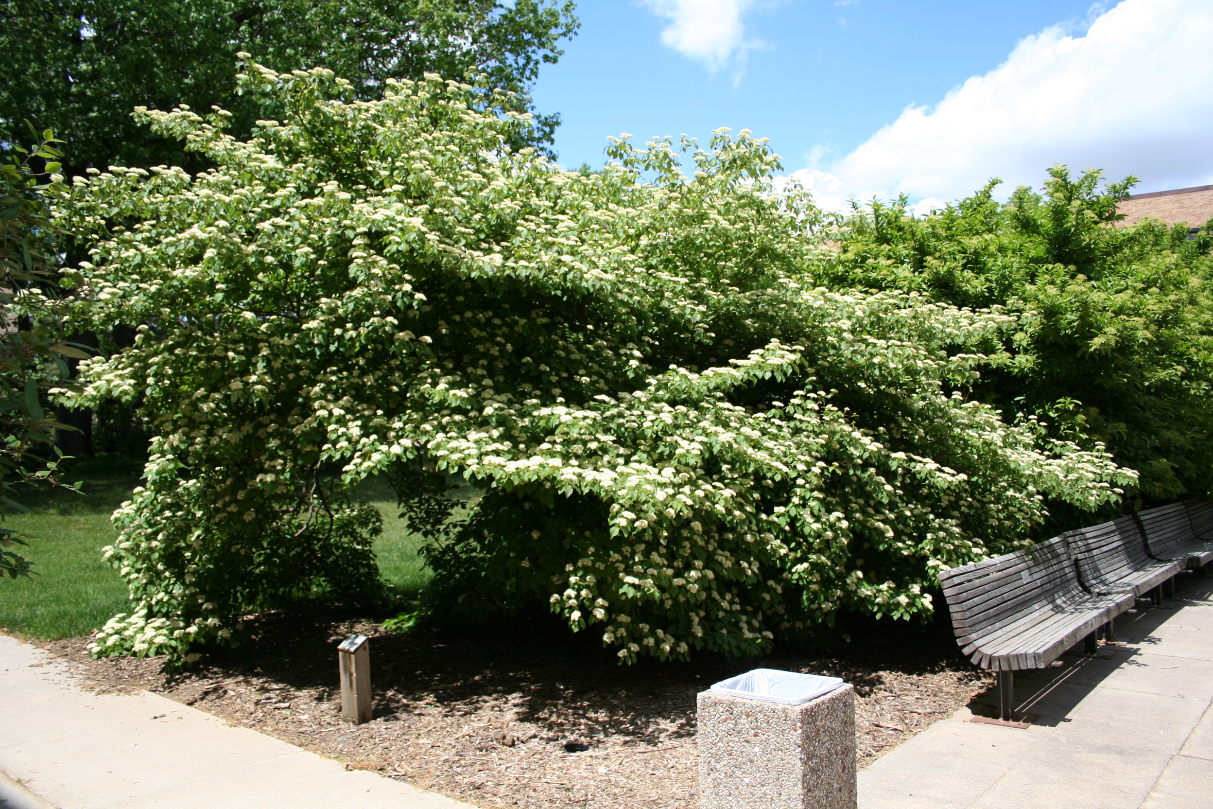 A row these shrubs while flowering adorn bench seating