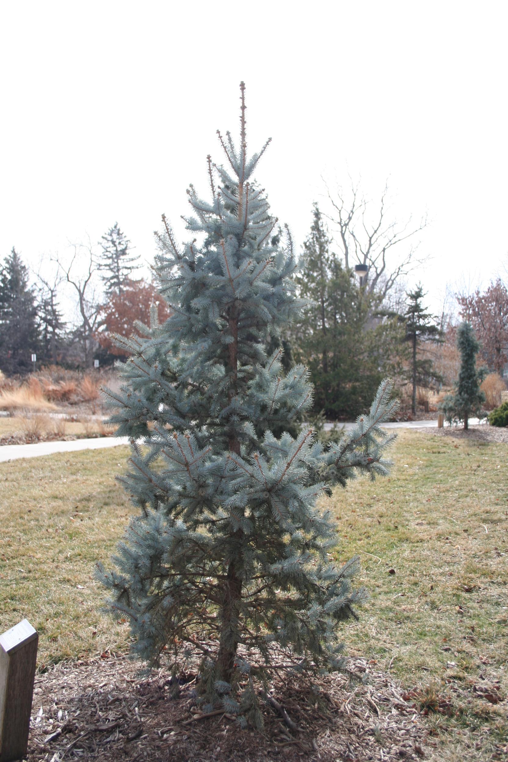 Immature blue spruce.