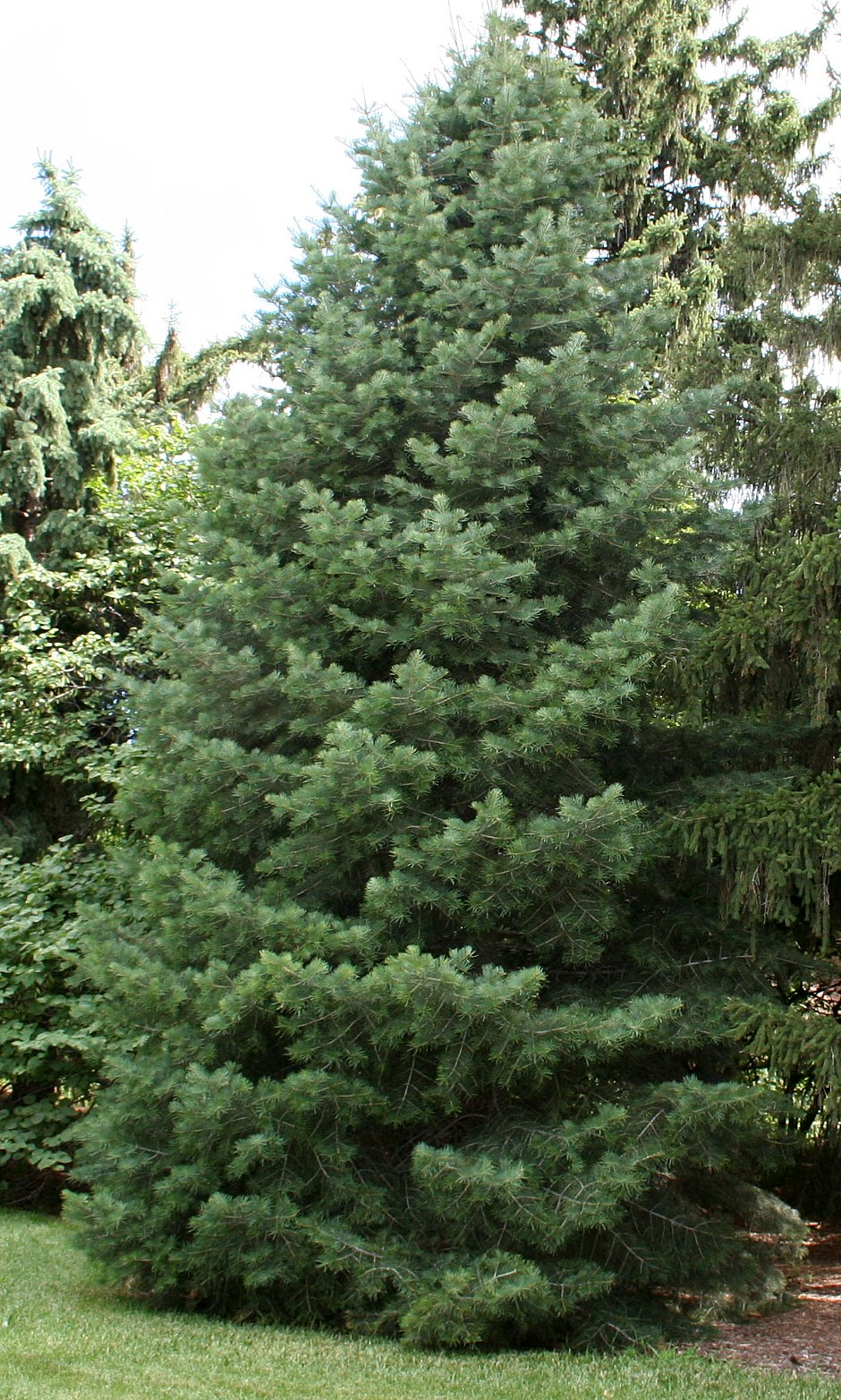 Concolor Fir tree full size