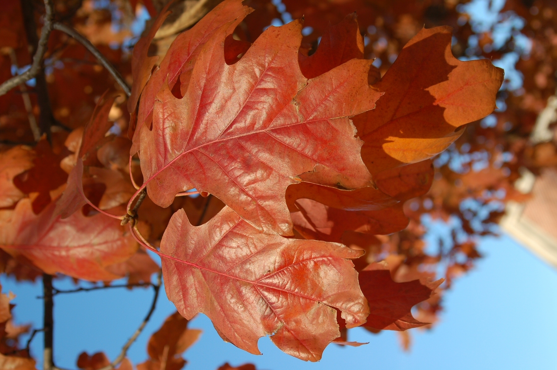 Red oak leaves.