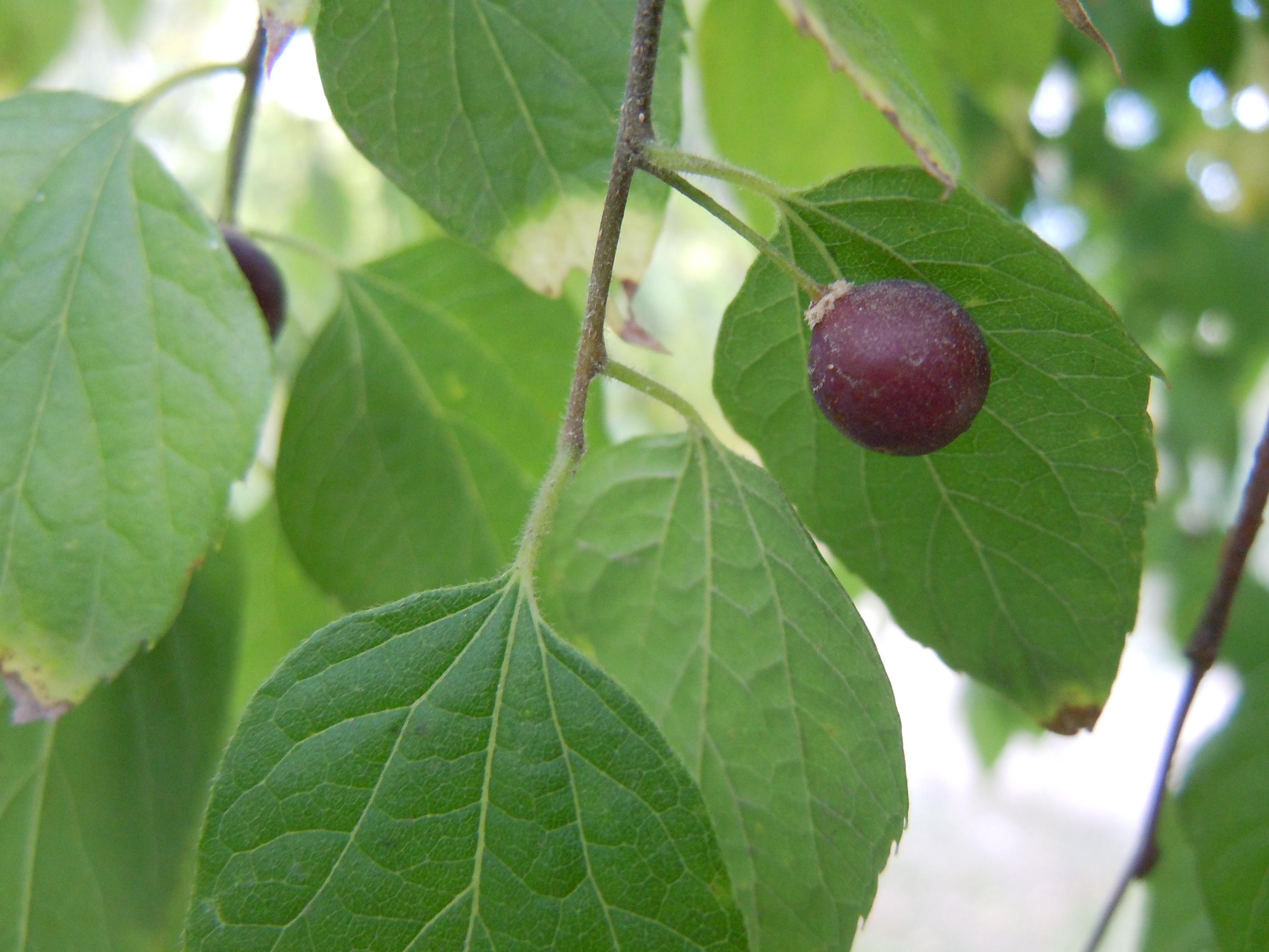 Hackberry seed