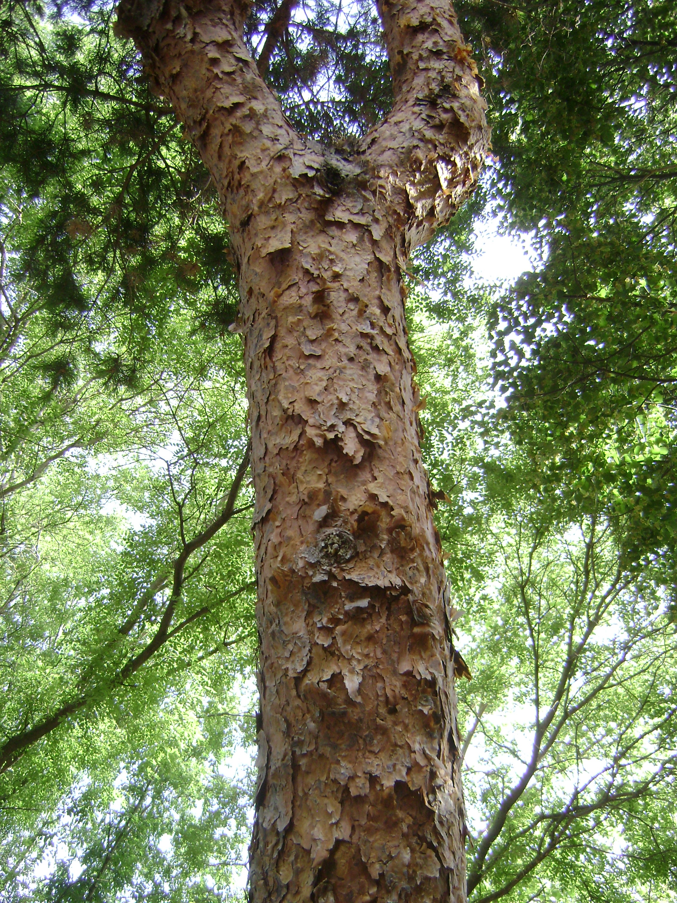 Scotch pine tree bark.