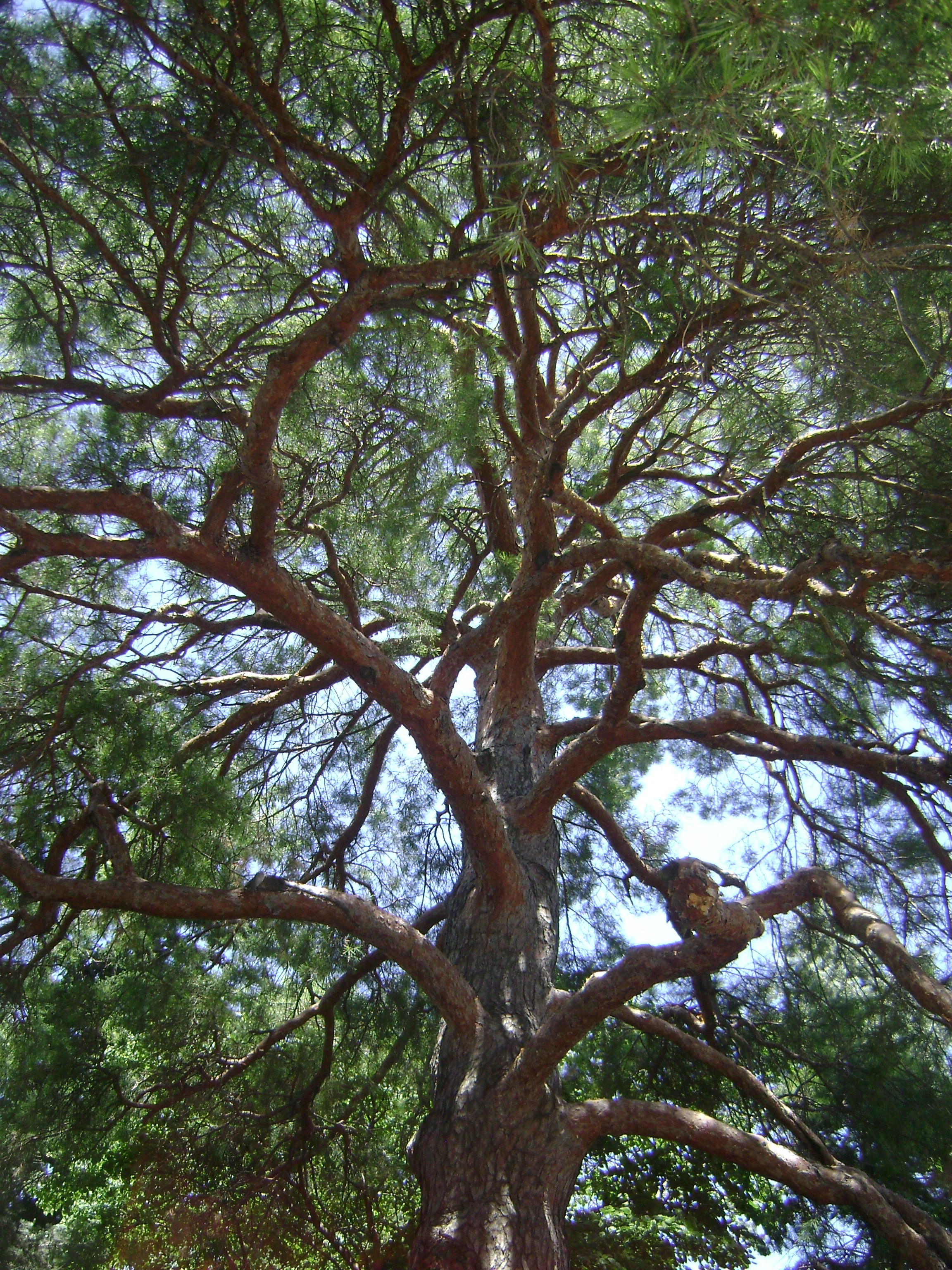 Scotch pine tree canopy.