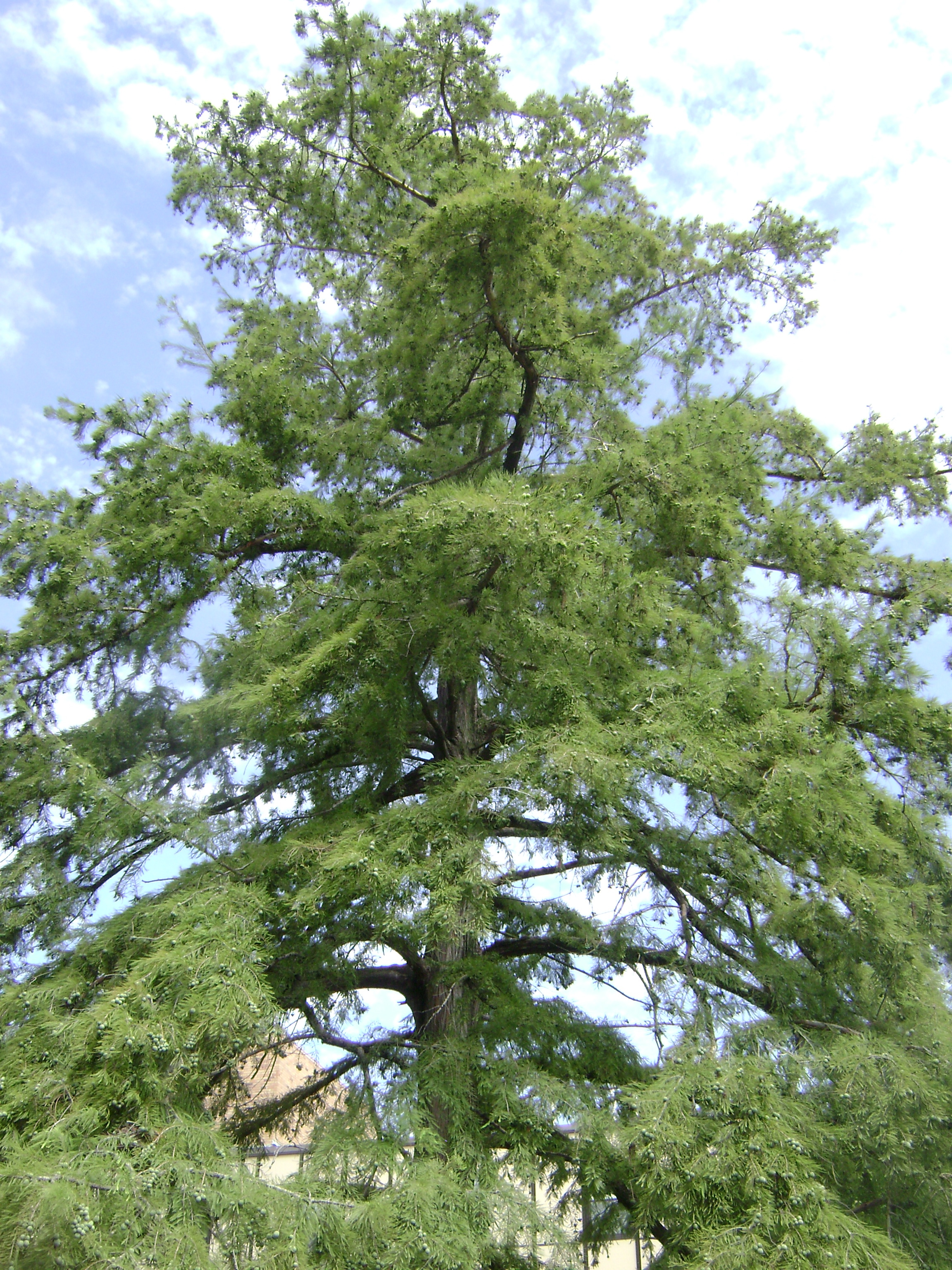 Photograph of the tree.