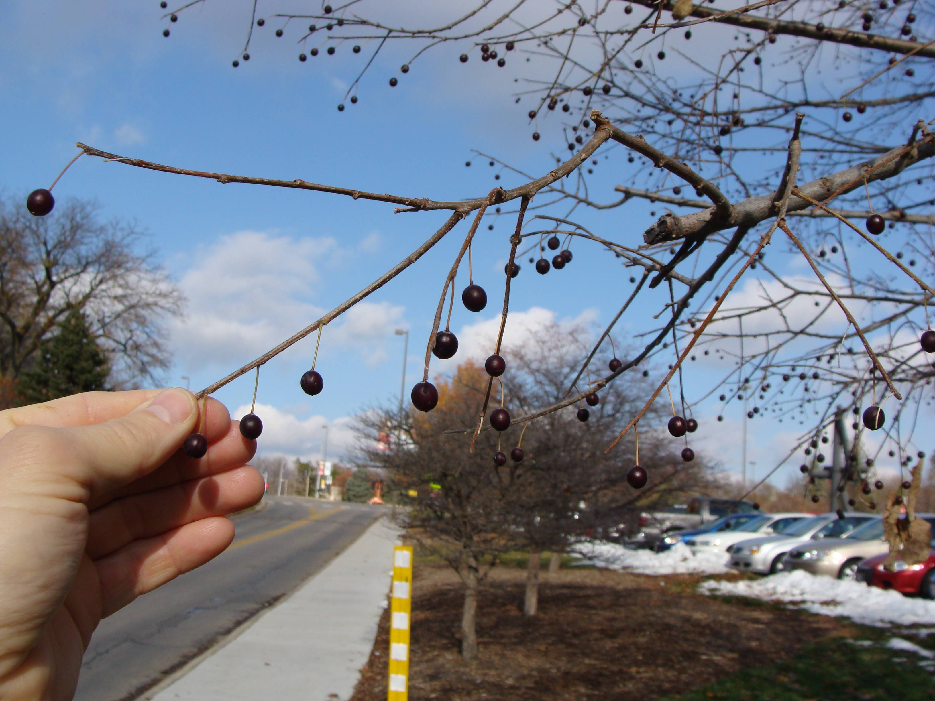 Hackberry seeds
