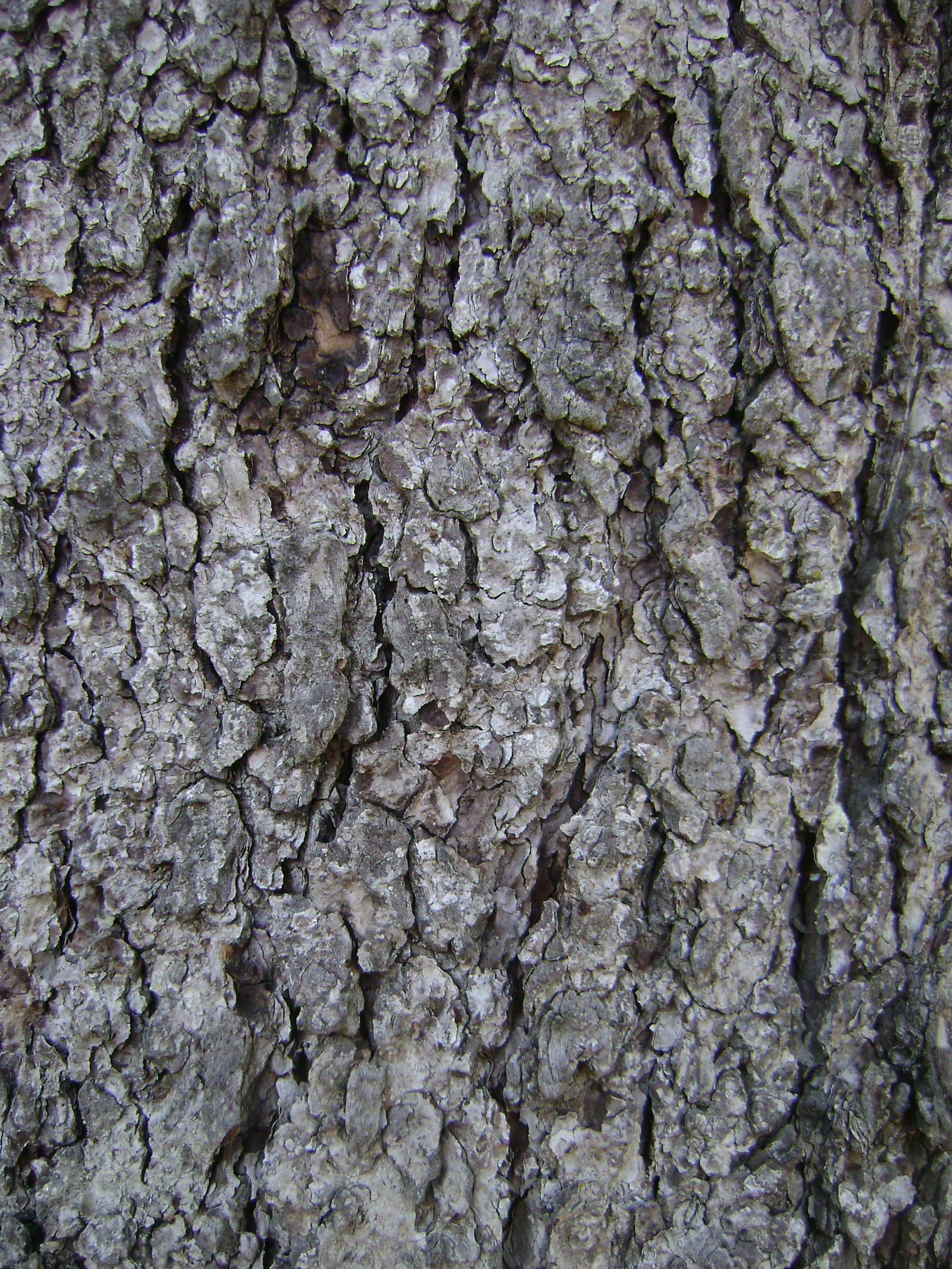 Photograph of a douglas fir tree's bark.