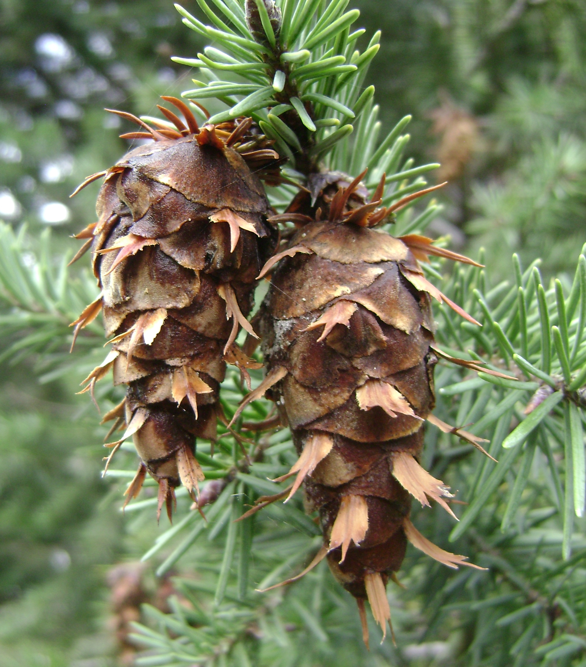 Photograph of a Douglas fir tree's pine cone.