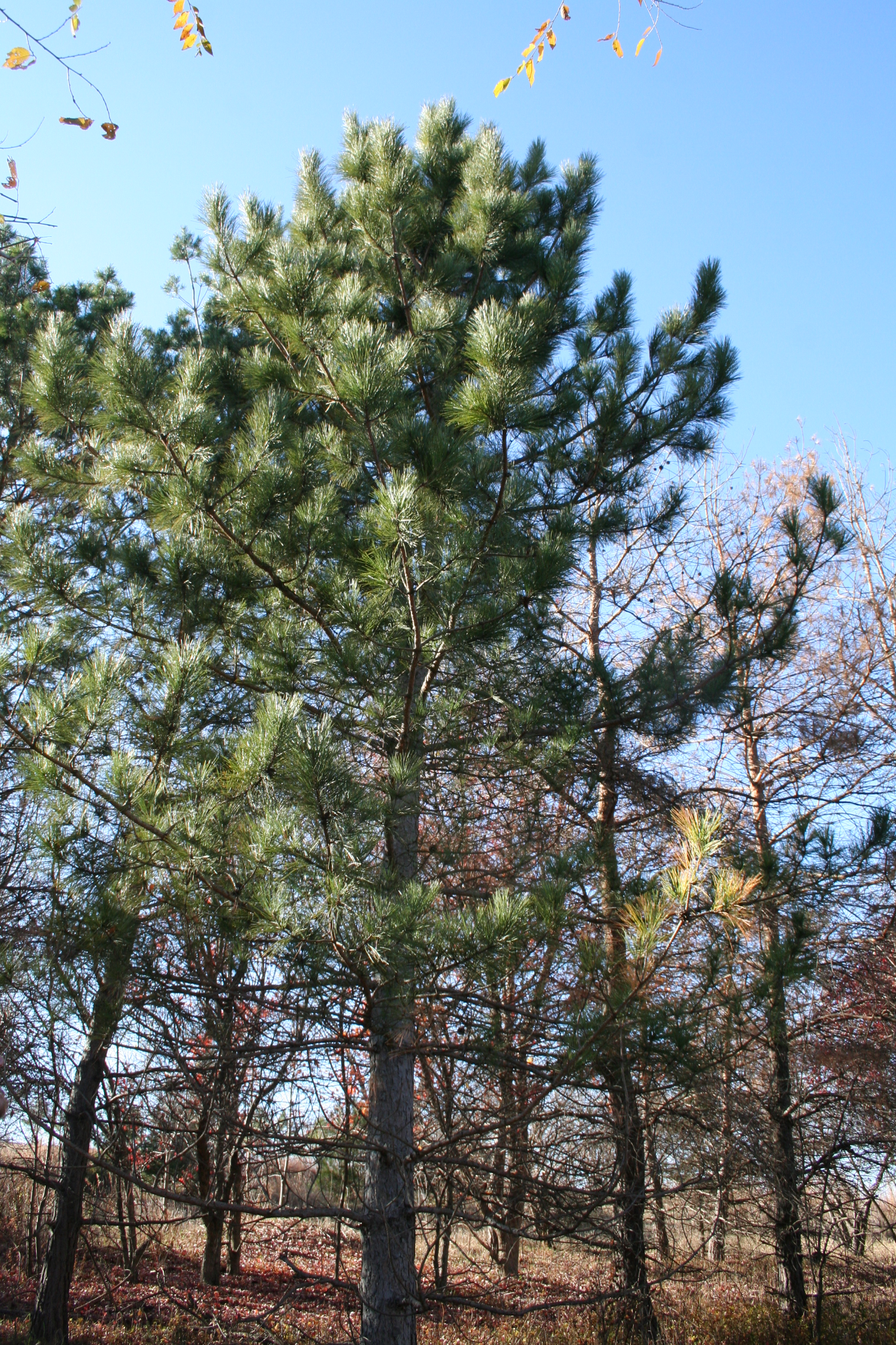 Red pine in Lincoln, Nebraska