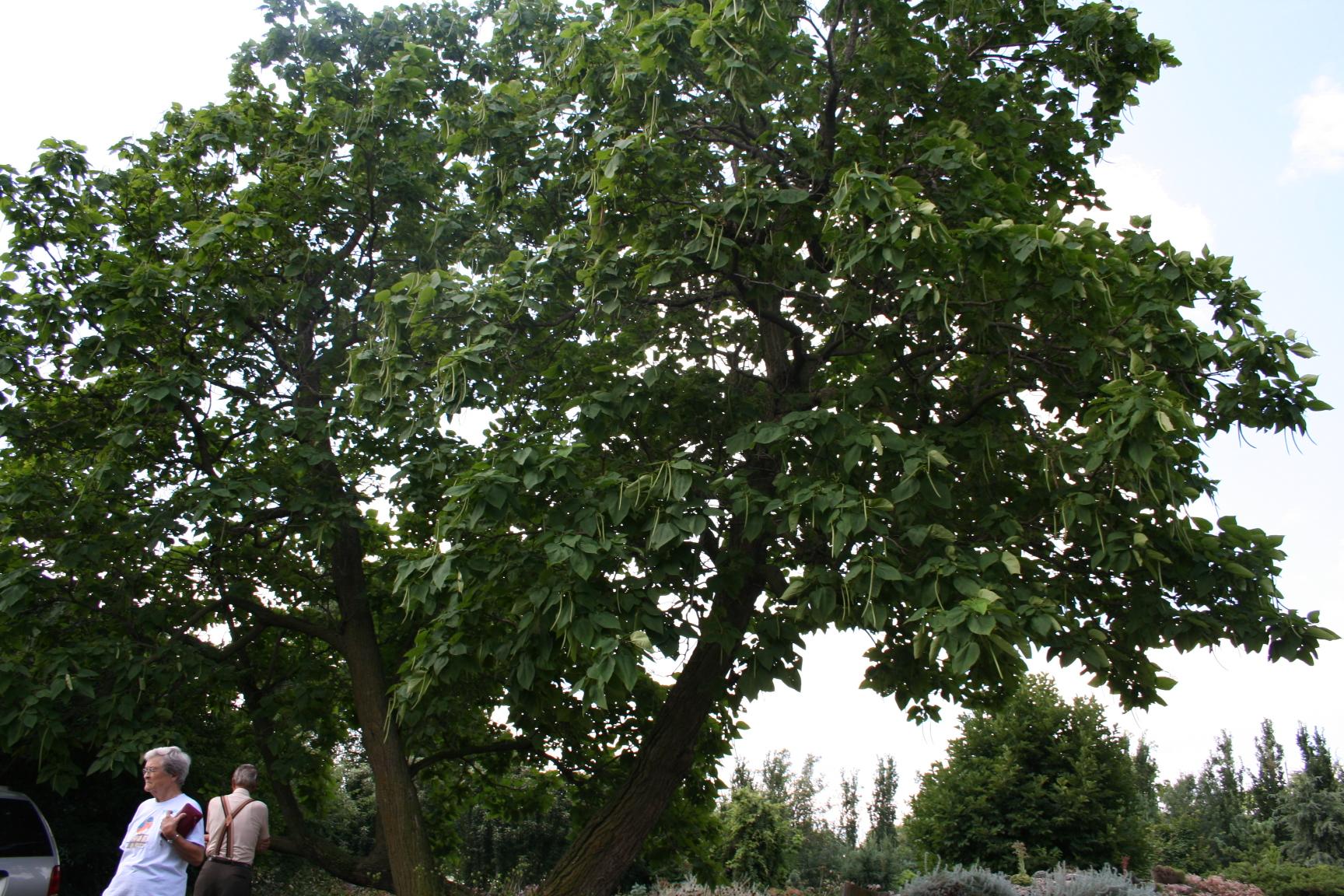 Northern catalpa tree.