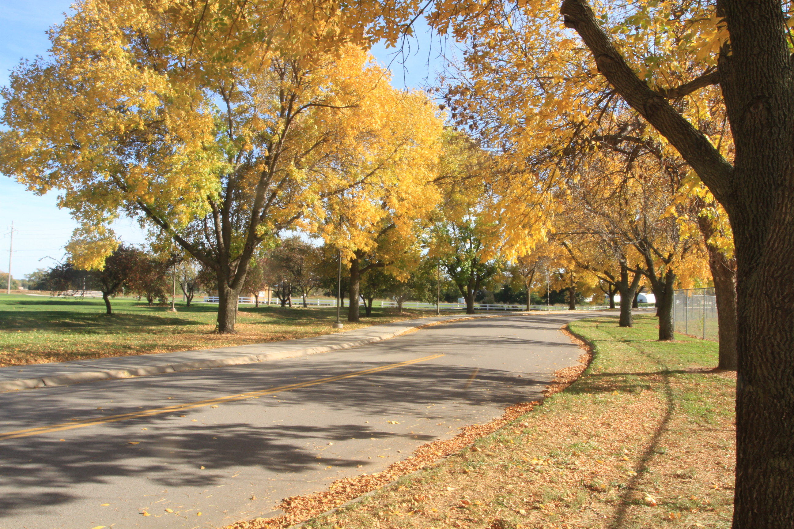 Green ash trees turn a brilliant yellow during the fall.