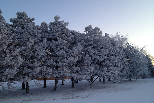 Frost collects on mid-aged ponderosa pine windbreak