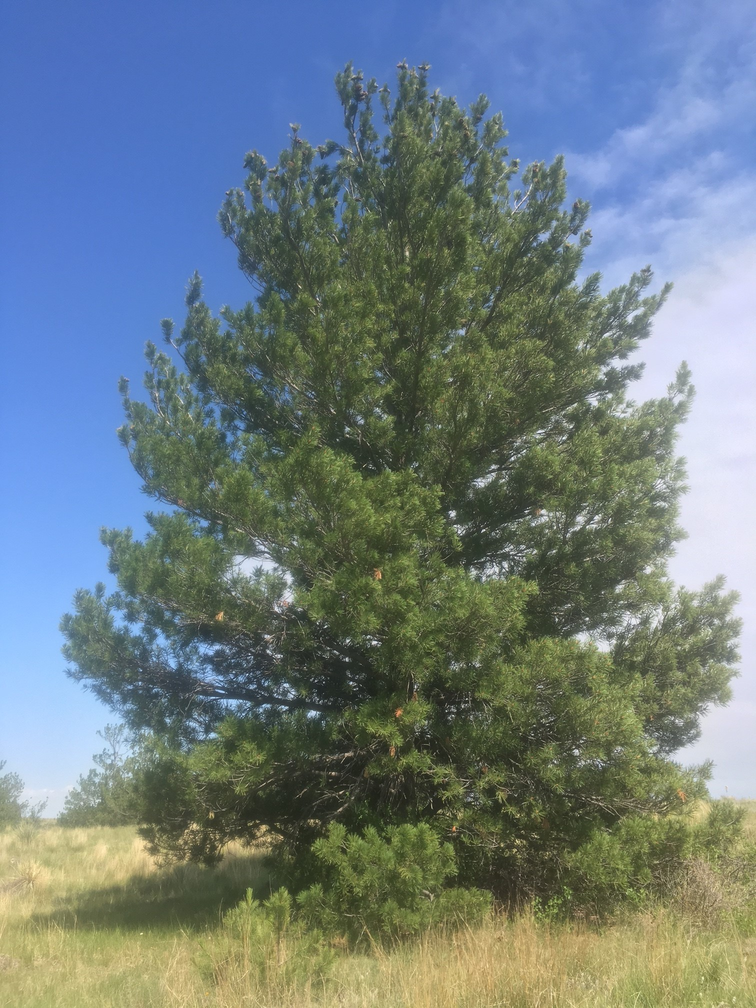 Limber pine in Kimball County