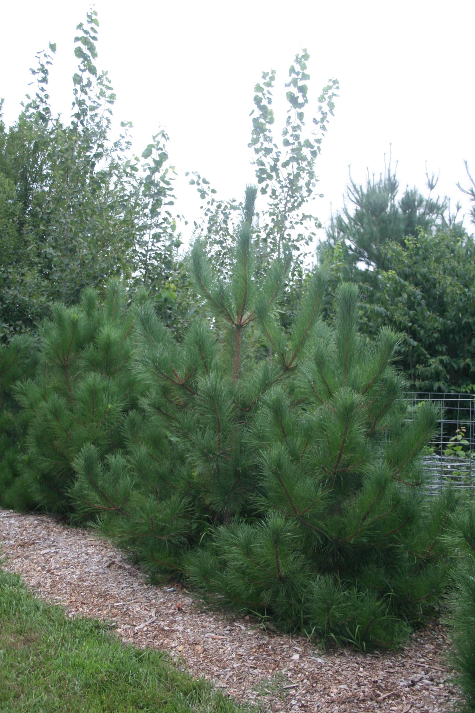 Red Pine nursery
