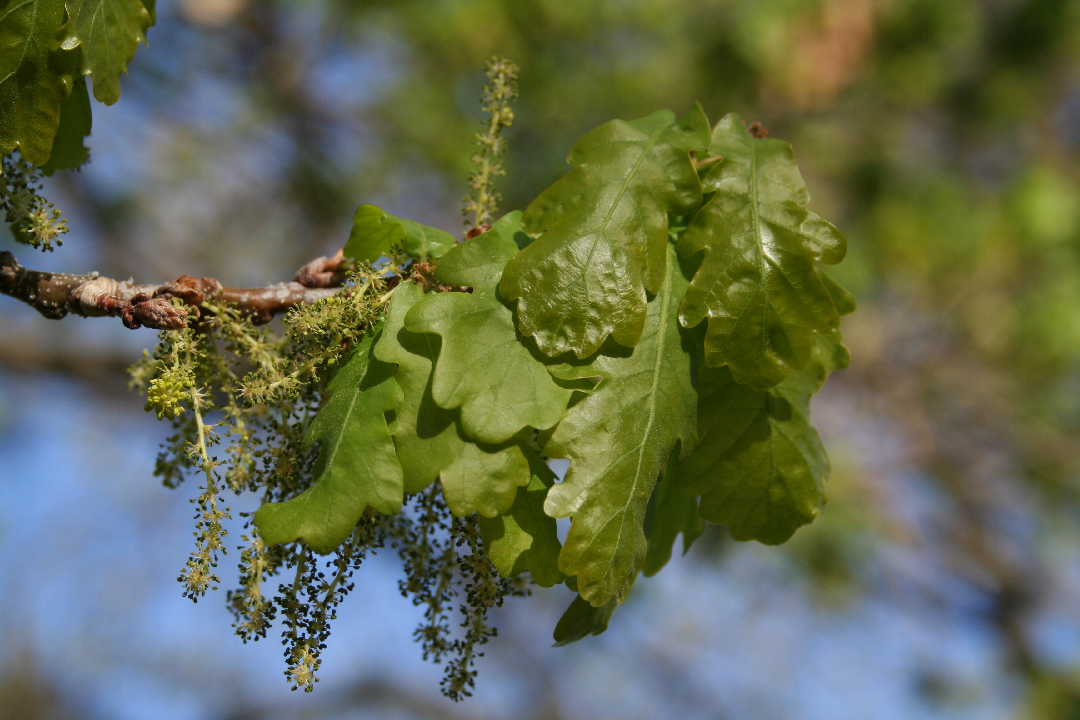 English oak leaves