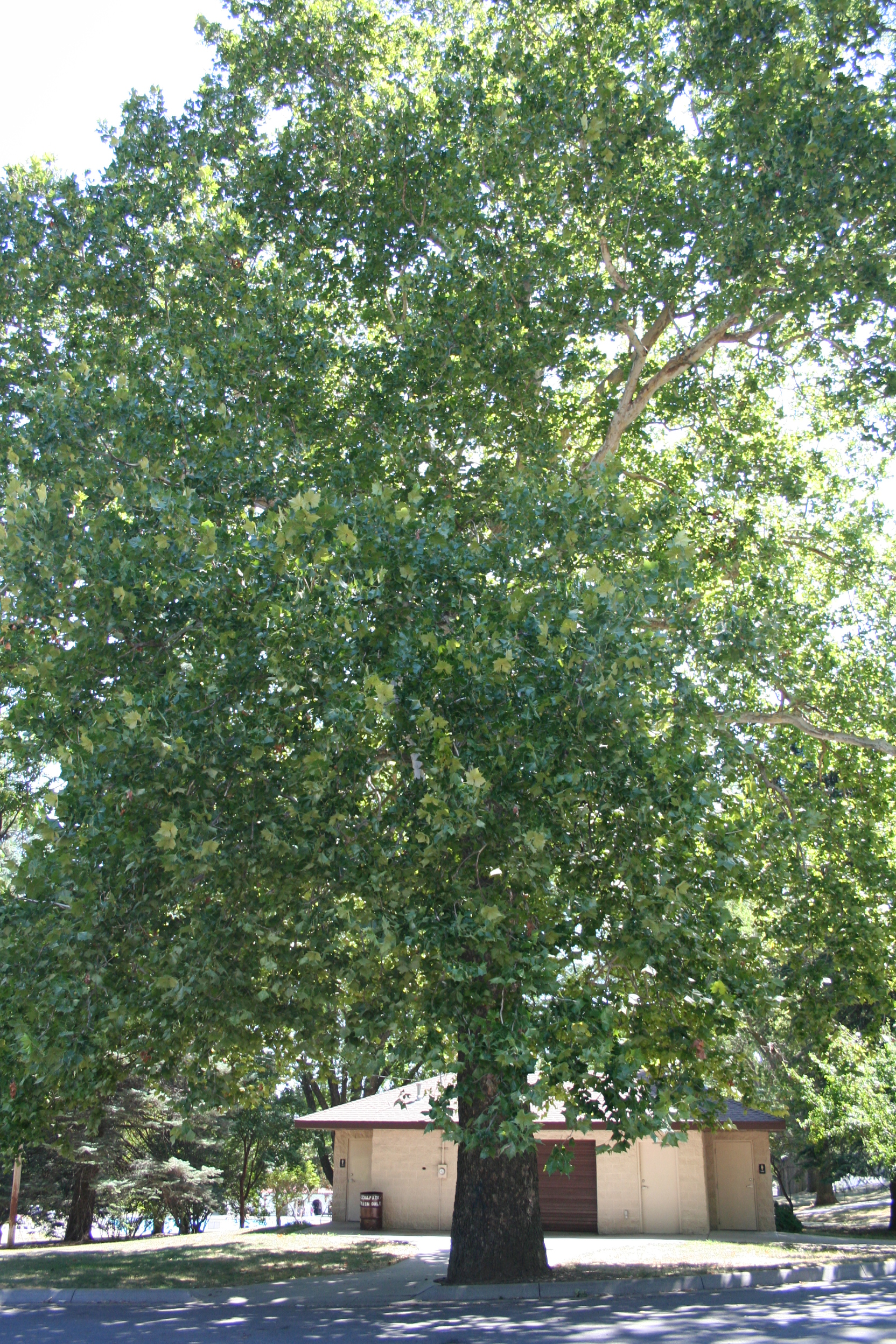 American sycamore at Ralph Steyer Park