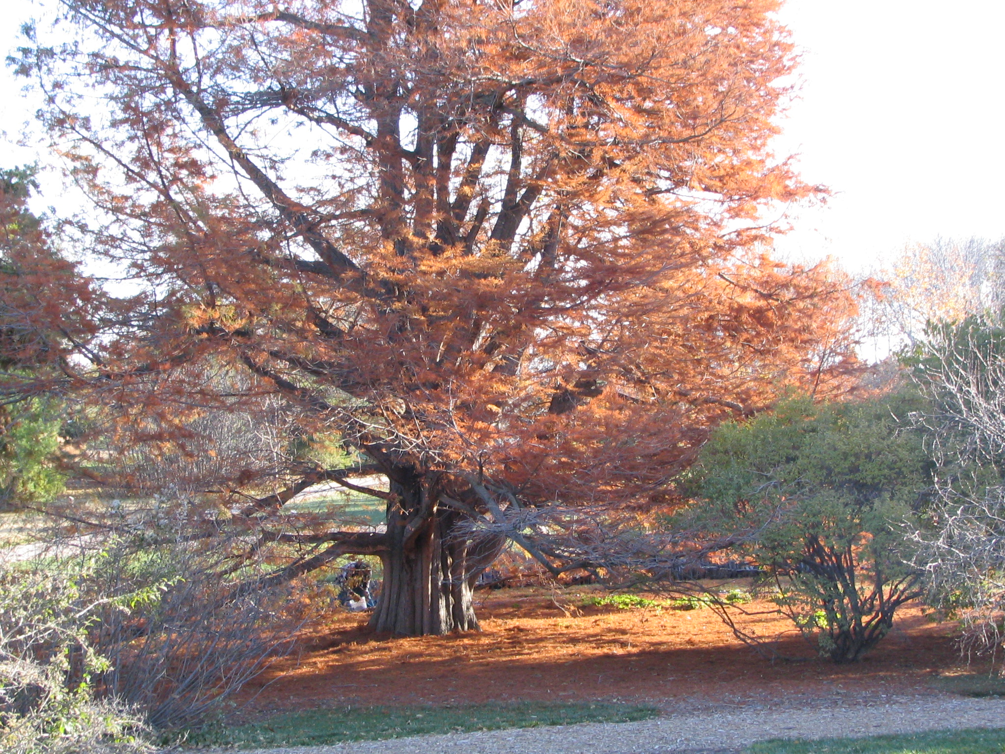 Photograph of the tree shedding its needles in the fall.