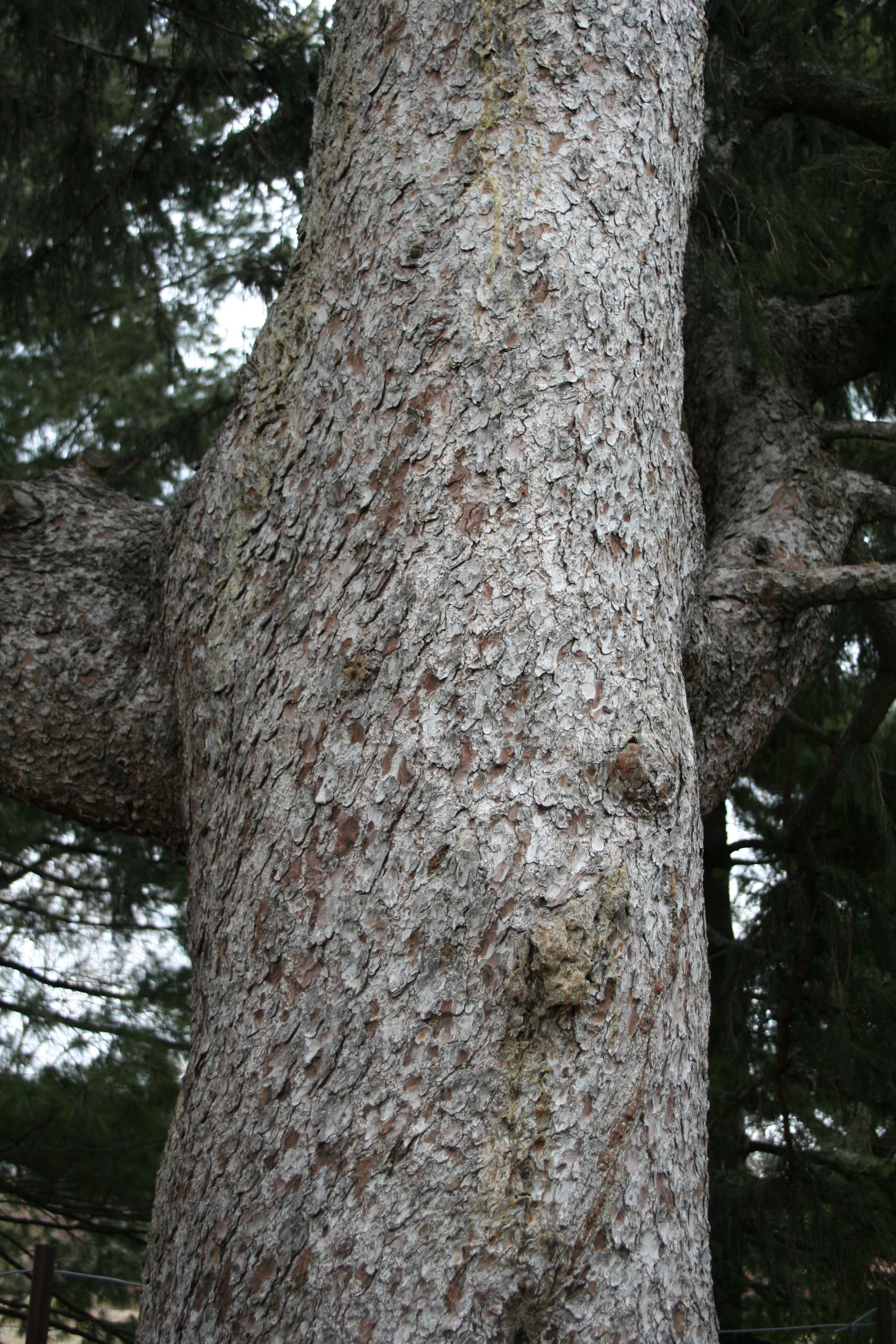 Close up of Concolor (white) Fir bark