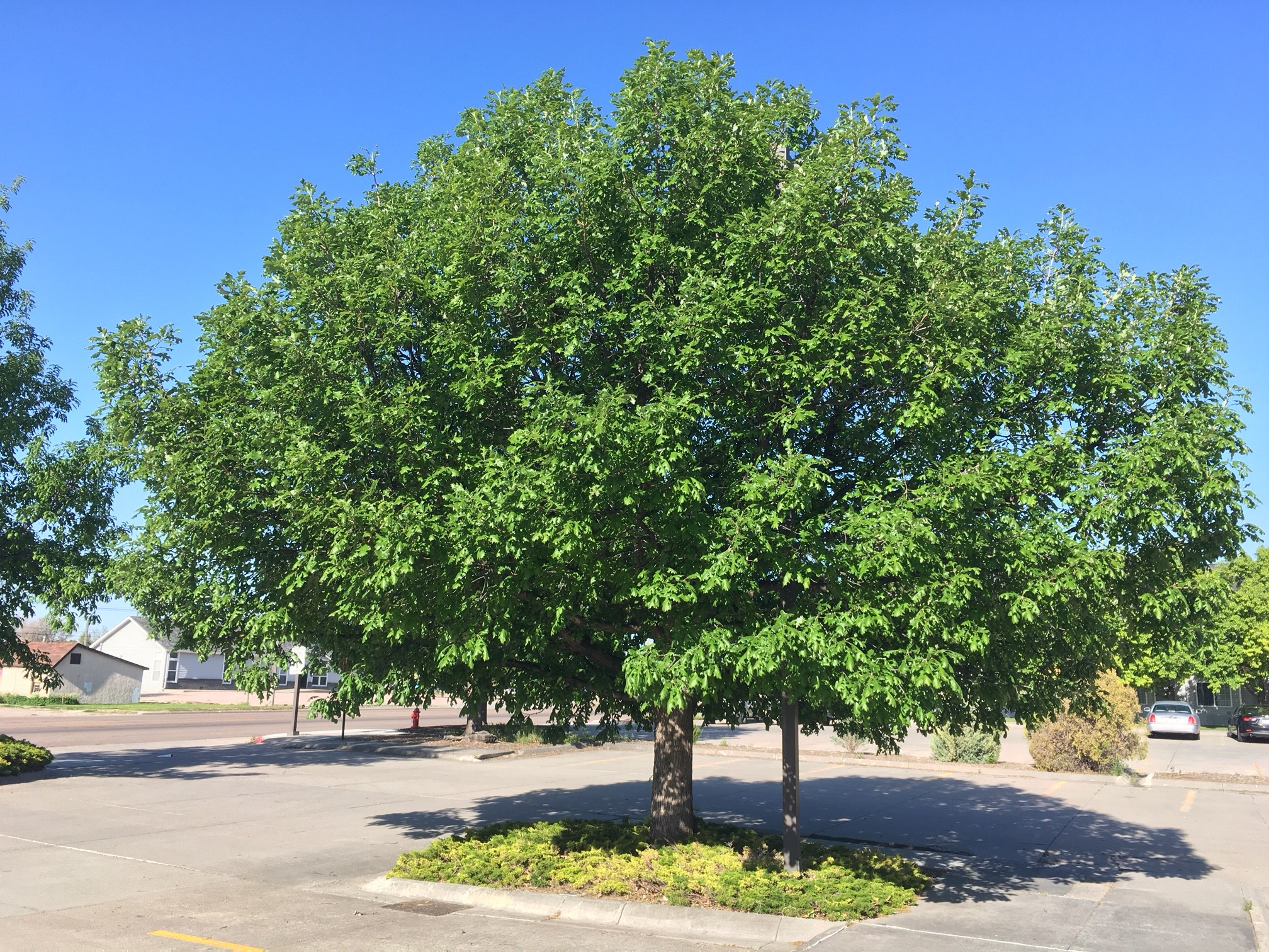 Bur oak in a city right of way.