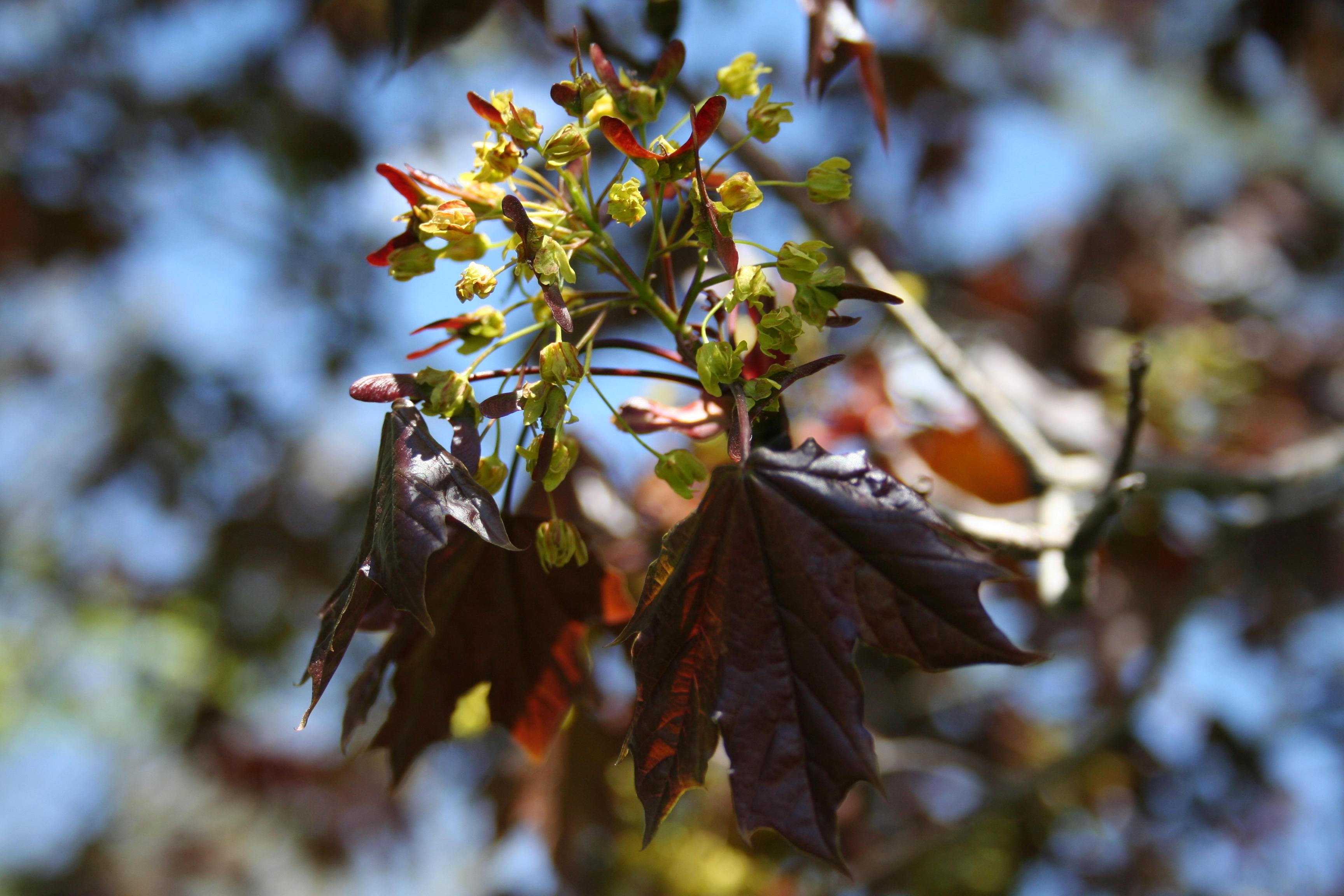 Norway Maple flowering