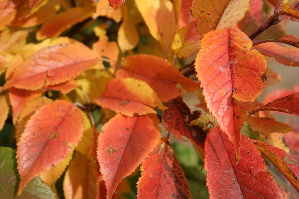 American plum leaves